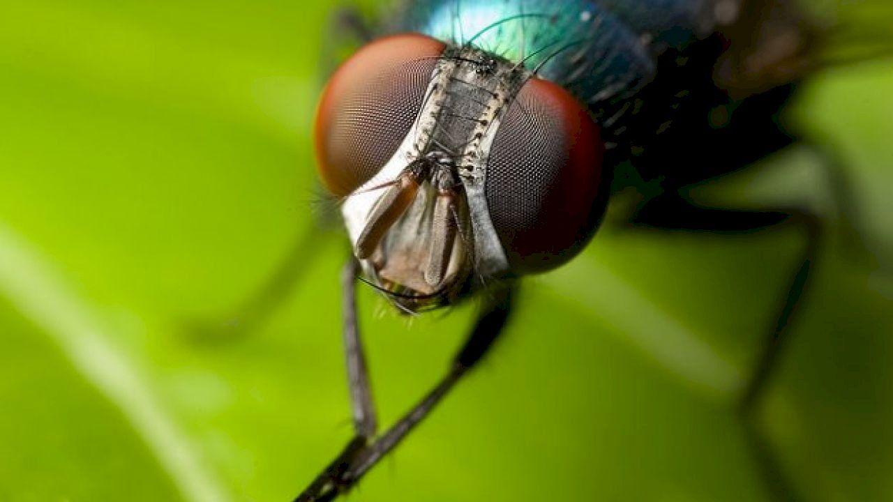 كم عمر الذبابة Insects Humming Bird Feeders Natural Fly Repellant