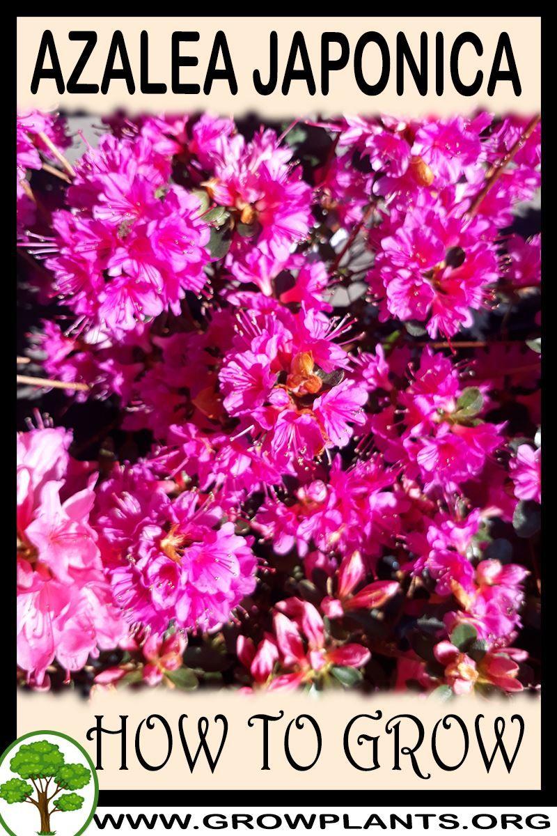 Azalea japonica How to grow & care in 2020 Azaleas