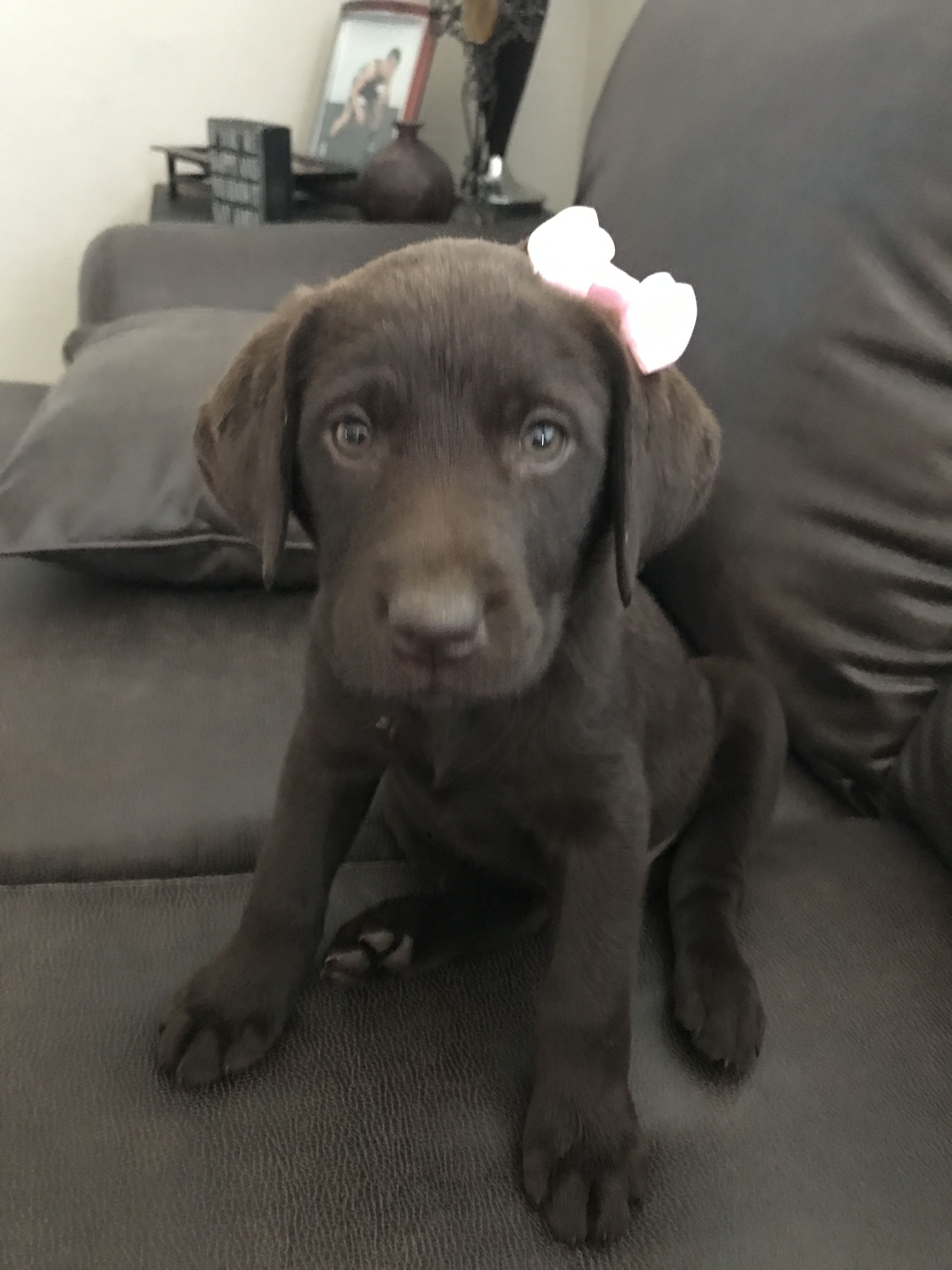 Chocolate Lab Puppy Her Name Is June Bug She Is 8 Weeks Old Chocolate Lab Puppies Puppies Doggy