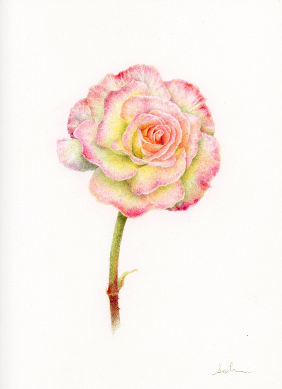 Flower Drawing Colored Pencil Drawing Botanical By Eunsuhfineart