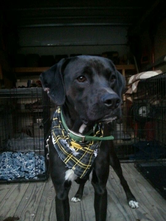 Chico is a lab/boxer mix in Cedar Rapids IA looking for a