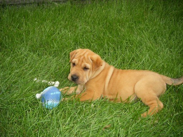 Bella Yellow Lab Shar Pei Mix Cutest Puppy Ever With Images
