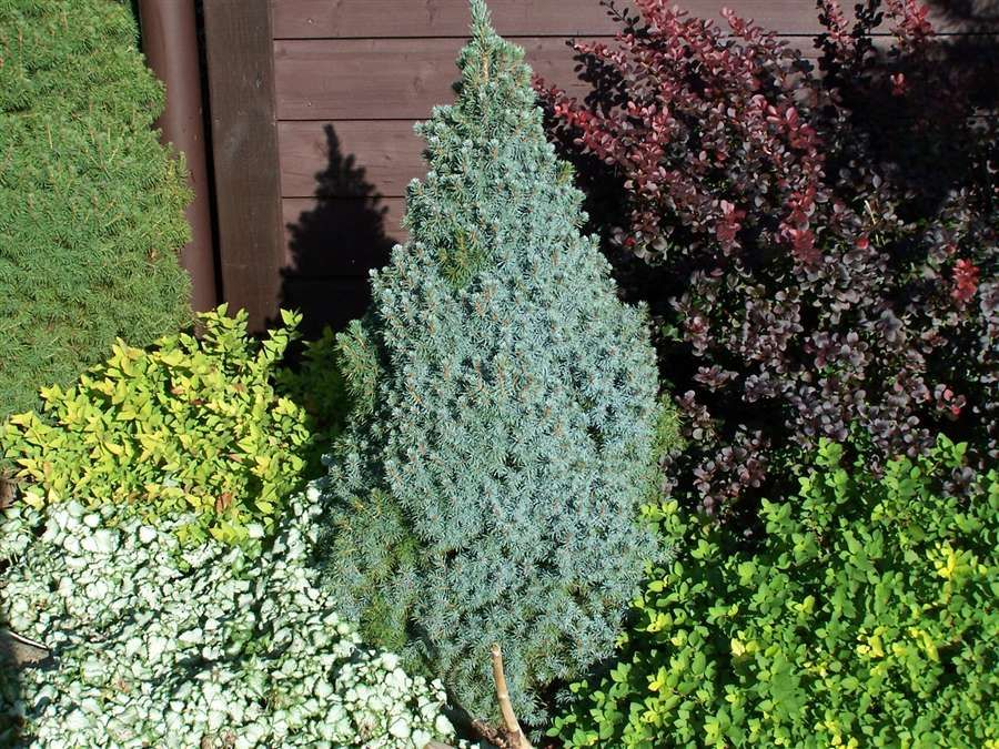 Sander's Blue Spruce (2 m) A slate blue form of Dwarf Alberta Spruce growing very slowly. This unique evergreen has a tendency to become variegated. Best in full sun. Canadale Nurseries Ltd.