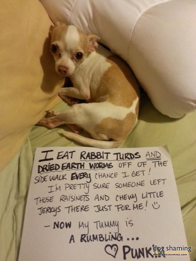 Ay Chihuahua Dog Shaming Funny