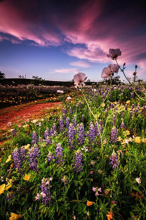 Texas Wildflowers, so beautiful! Edge by Chris Multop    From the 2012 Texas Wildflower season