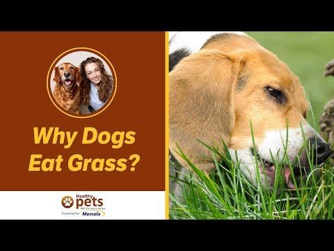 Why Do Dogs Eat Grass, And Is It Bad For Them? Dogs