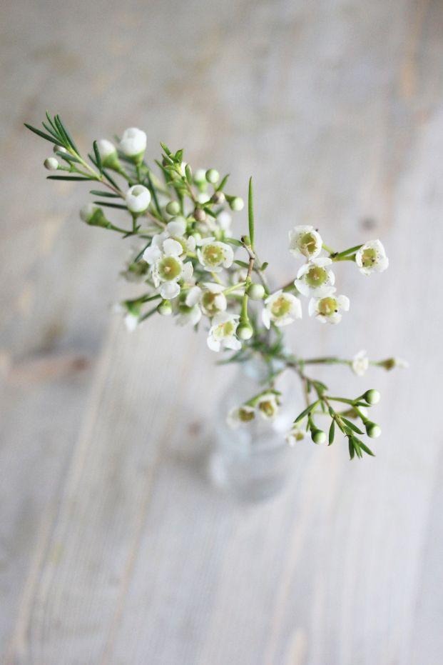 WAX tte année Cet arbuste robuste fait de petites fleurs blanches, rosées,  ou pourpre plutôt résistantes qui résistent bien hors de l\u0027eau.