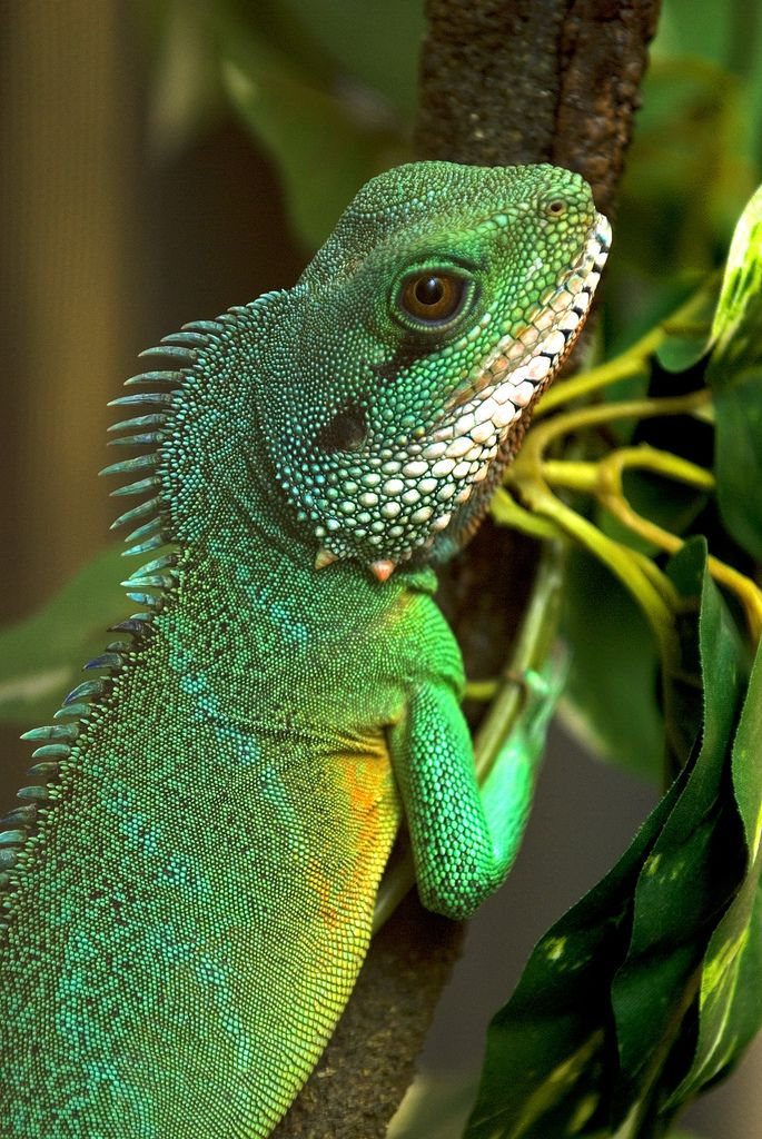 Chinese Water Dragon Reptiles Chinese water dragon