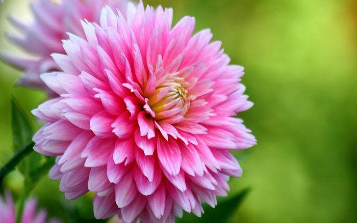 Pink Dahlia Flowers Close Up Of Dahlia 9 Most Beautiful Flowers Flowers Beautiful Flowers