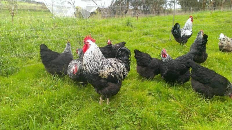 Purebred Silver Sussex fertile eggs for sale... Fertile