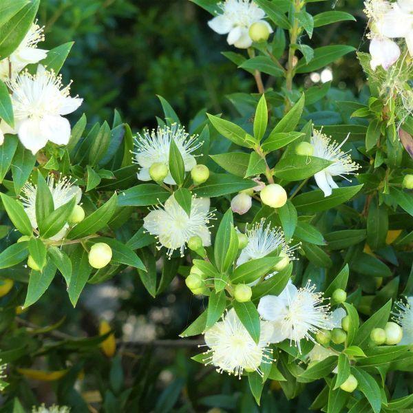 Common Myrtle Buy At Nature Hills Nursery In 2020 Plants Invasive Plants Myrtle