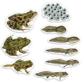 Life Cycle Of A Frog Magnets You Can Buy This For 15 Something On Amazon Or Buy A Whole Pack Of Printable M Lifecycle Of A Frog Life Cycles Frog Life
