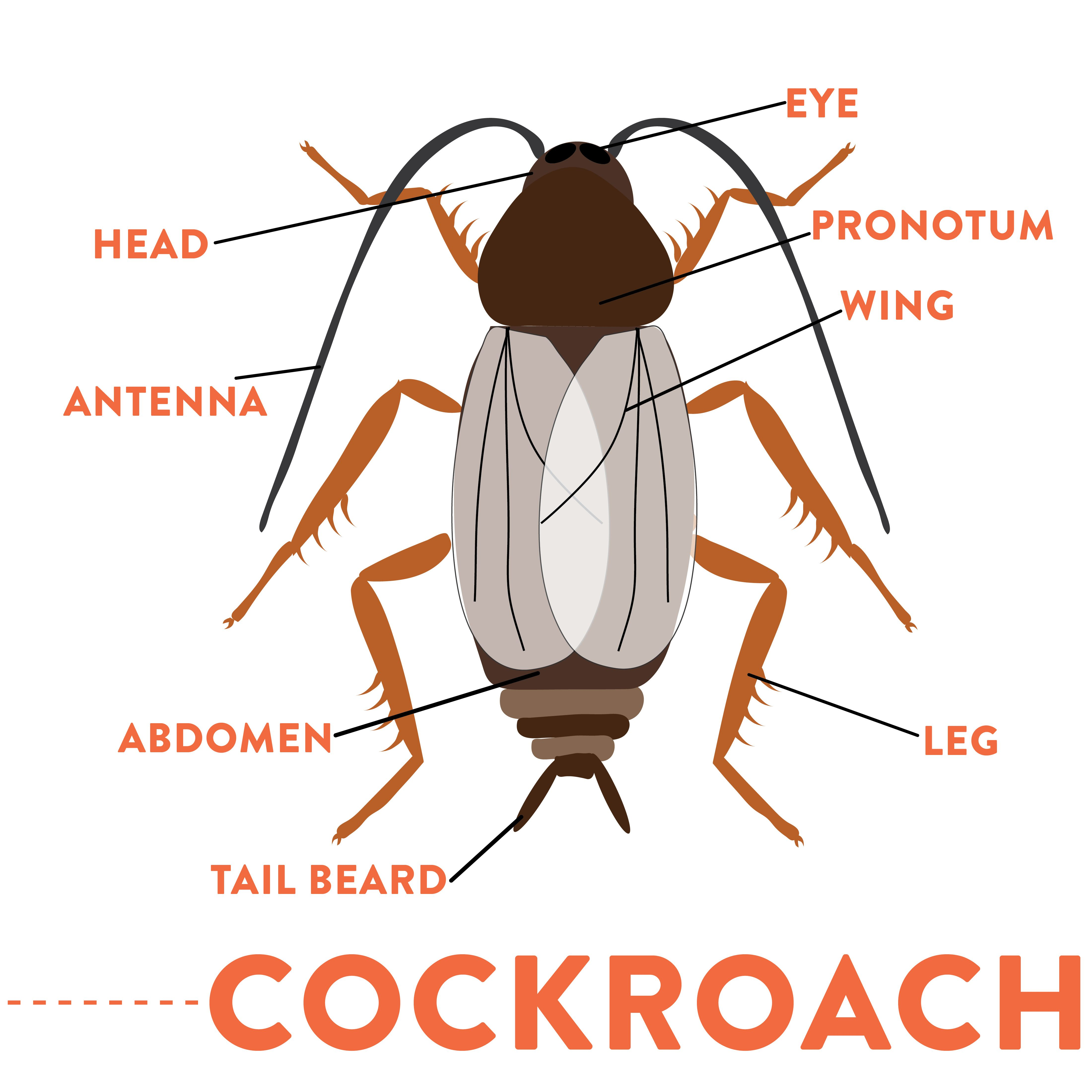 what does a cockroach look like? identify cockroaches with this Cockroach Heart Diagram what does a cockroach look like? identify cockroaches with this helpful diagram