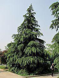 Kashmir Deodar Cedar (Cedrus deodara 'Kashmir') #immergrünesträucher Kashmir Deodar Cedar (Cedrus deodara 'Kashmir') #immergrünesträucher Kashmir Deodar Cedar (Cedrus deodara 'Kashmir') #immergrünesträucher Kashmir Deodar Cedar (Cedrus deodara 'Kashmir') #immergrünesträucher Kashmir Deodar Cedar (Cedrus deodara 'Kashmir') #immergrünesträucher Kashmir Deodar Cedar (Cedrus deodara 'Kashmir') #immergrünesträucher Kashmir Deodar Cedar (Cedrus deodara 'Kashmir') #immergrünesträucher Kas #immergrünesträucher