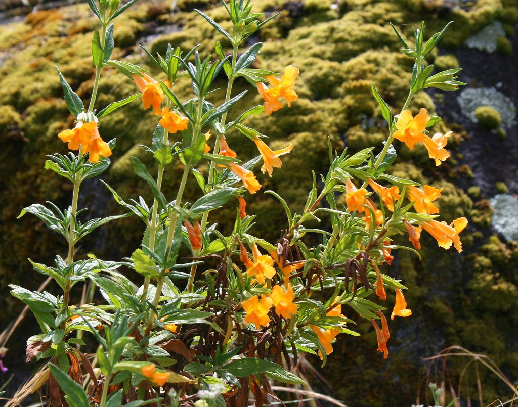 Mimulus Aurantiacus Sticky Monkey Flower Drought Resistant Attracts Hummingbirds Good Container Plant