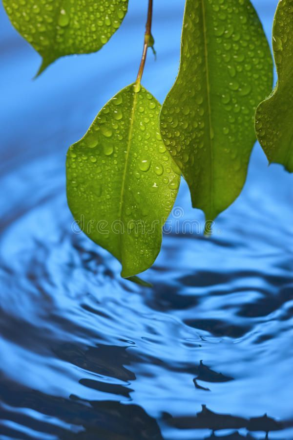 Water Ripples Leaf Fresh Background. Closeup of green leaves sprayed with water , #AFFILIATE, #Fresh, #Background, #Closeup, #Water, #Ripples #ad #waterripples Water Ripples Leaf Fresh Background. Closeup of green leaves sprayed with water , #AFFILIATE, #Fresh, #Background, #Closeup, #Water, #Ripples #ad #waterripples