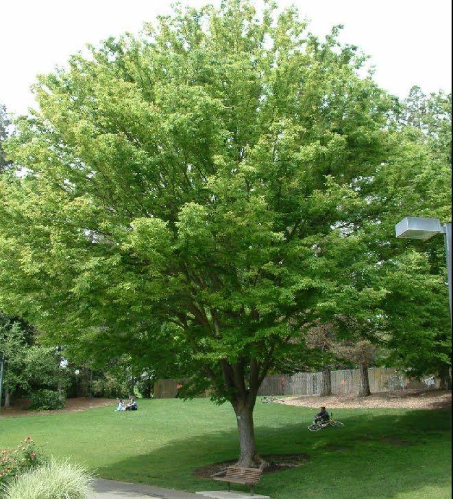 Top 10 Fastest Growing Shade Trees Green Vase Zelkova Garden Ii