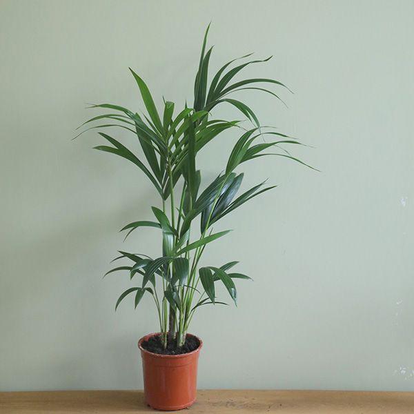 kentia palm plants pinterest plants and gardens. Black Bedroom Furniture Sets. Home Design Ideas