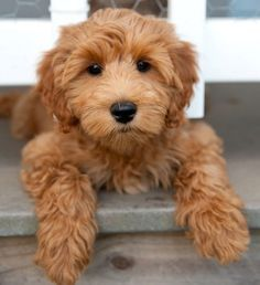 Image Result For Toy Poodle Puppies Light Brown Australian