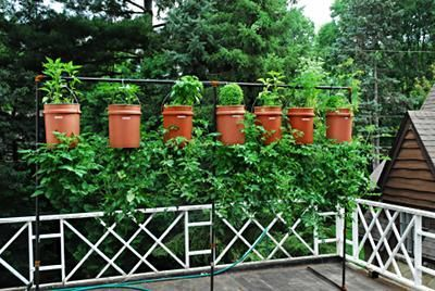 upside down tomatoes with herbs