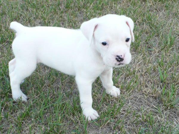 White boxer puppy!Kyndl Brunson Brunson QuayleKyl Quayle