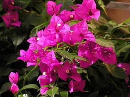 Bunganvilla Beautiful For The Home Pinterest Plantas - Plantas-de-exteriores-con-flores
