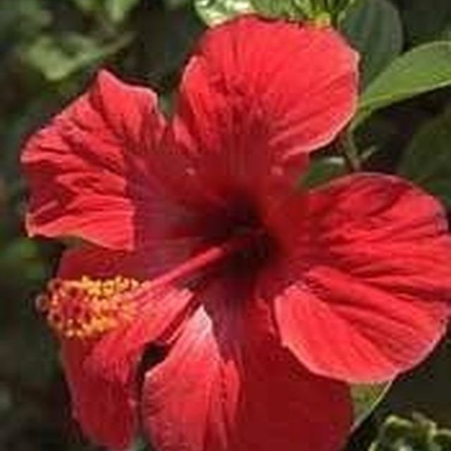 How To Dry Hibiscus Flowers For Tea Dried Hibiscus Flowers