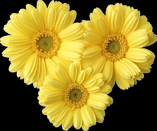 Gallery Recent Updates Flowers Gerbera Flower Gerbera