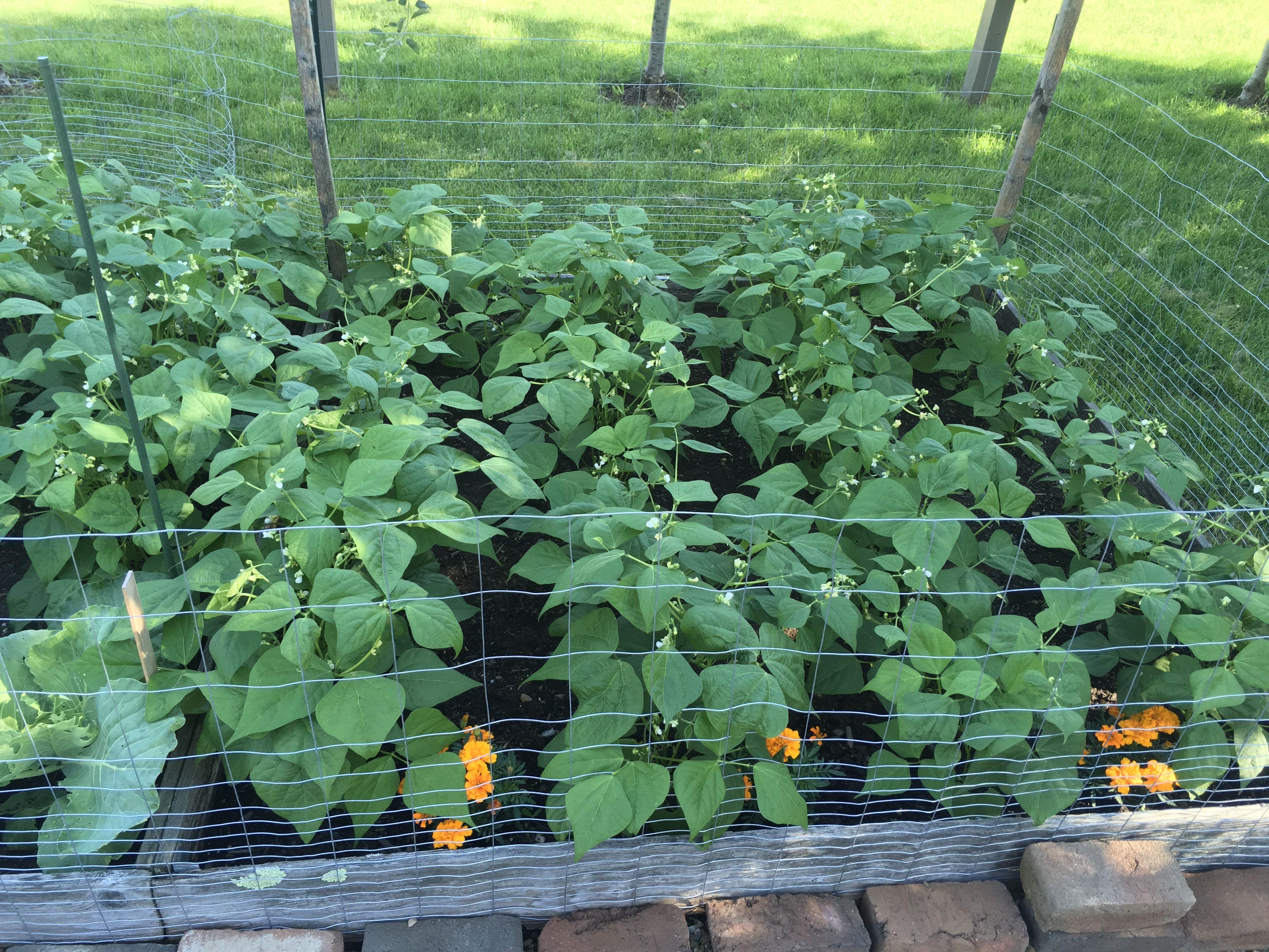 Garden green bush beanslate june trees to plant bush