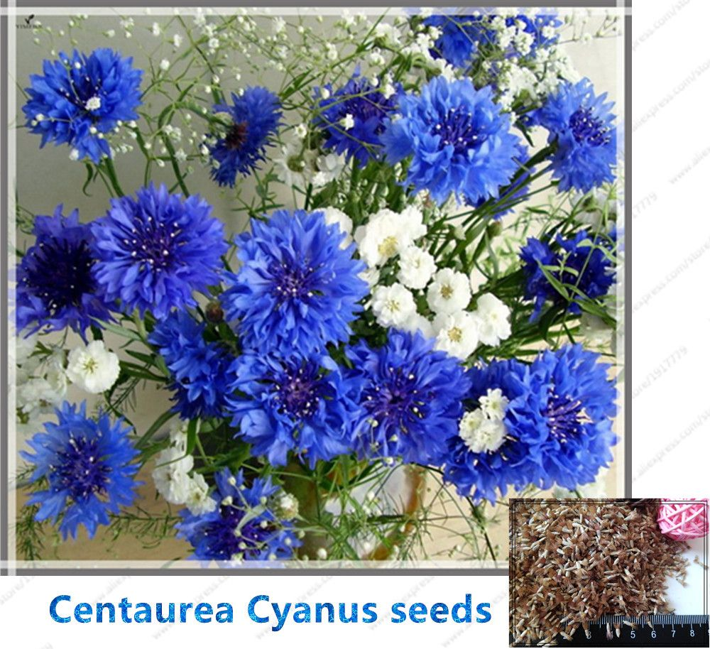 Cheap seeds blue buy quality flower seeds directly from china cheap seeds blue buy quality flower seeds directly from china flower seeds for home suppliers izmirmasajfo