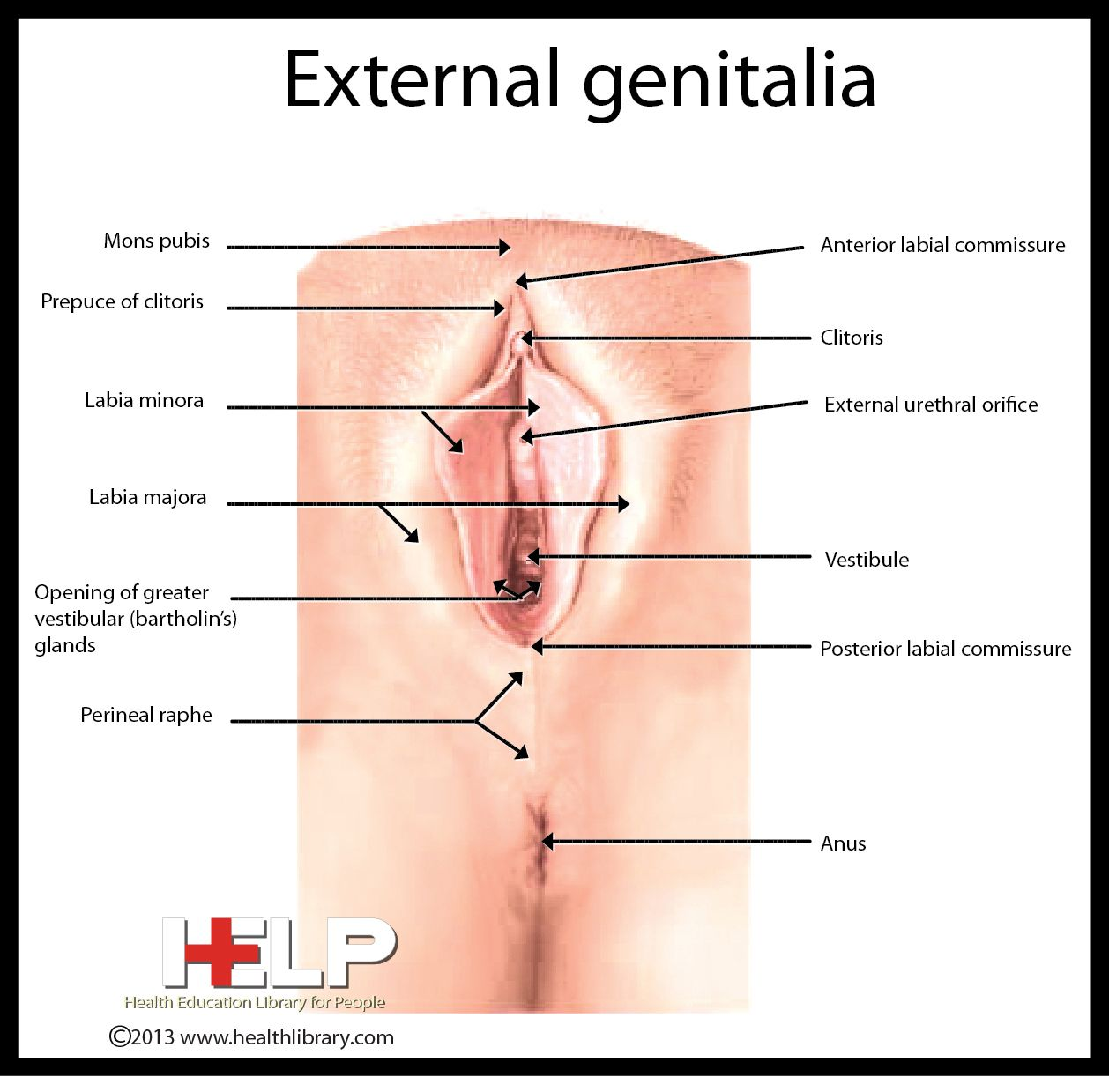 External Genitalia | Female Reproductive System | Pinterest | Female ...