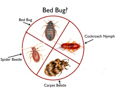 Ecoforce Heat Systems What Are Bed Bugs Bedbug Look A Likes