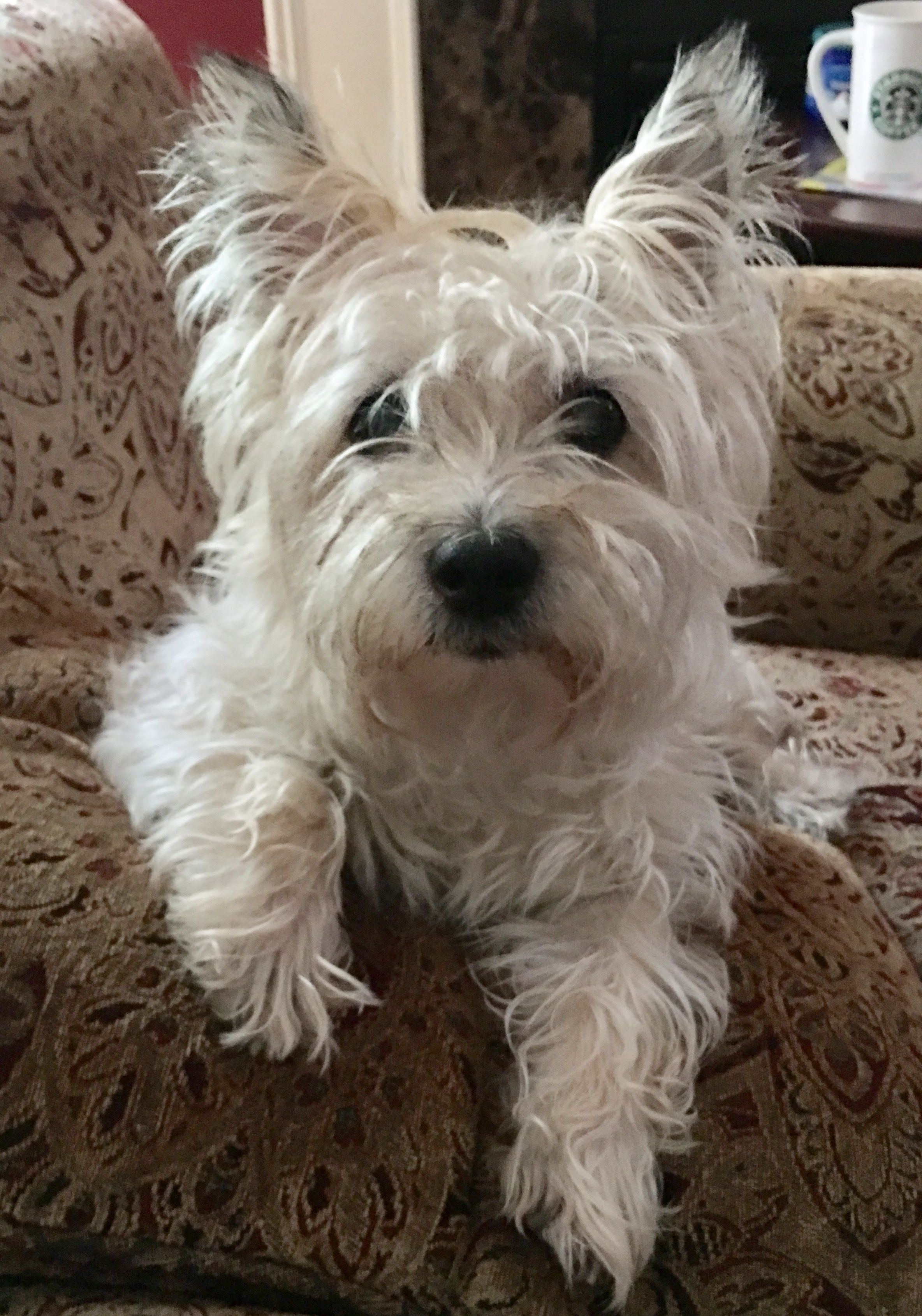Pin By Deborah Hitch On Cairn Terriers Cairn Terrier Terrier