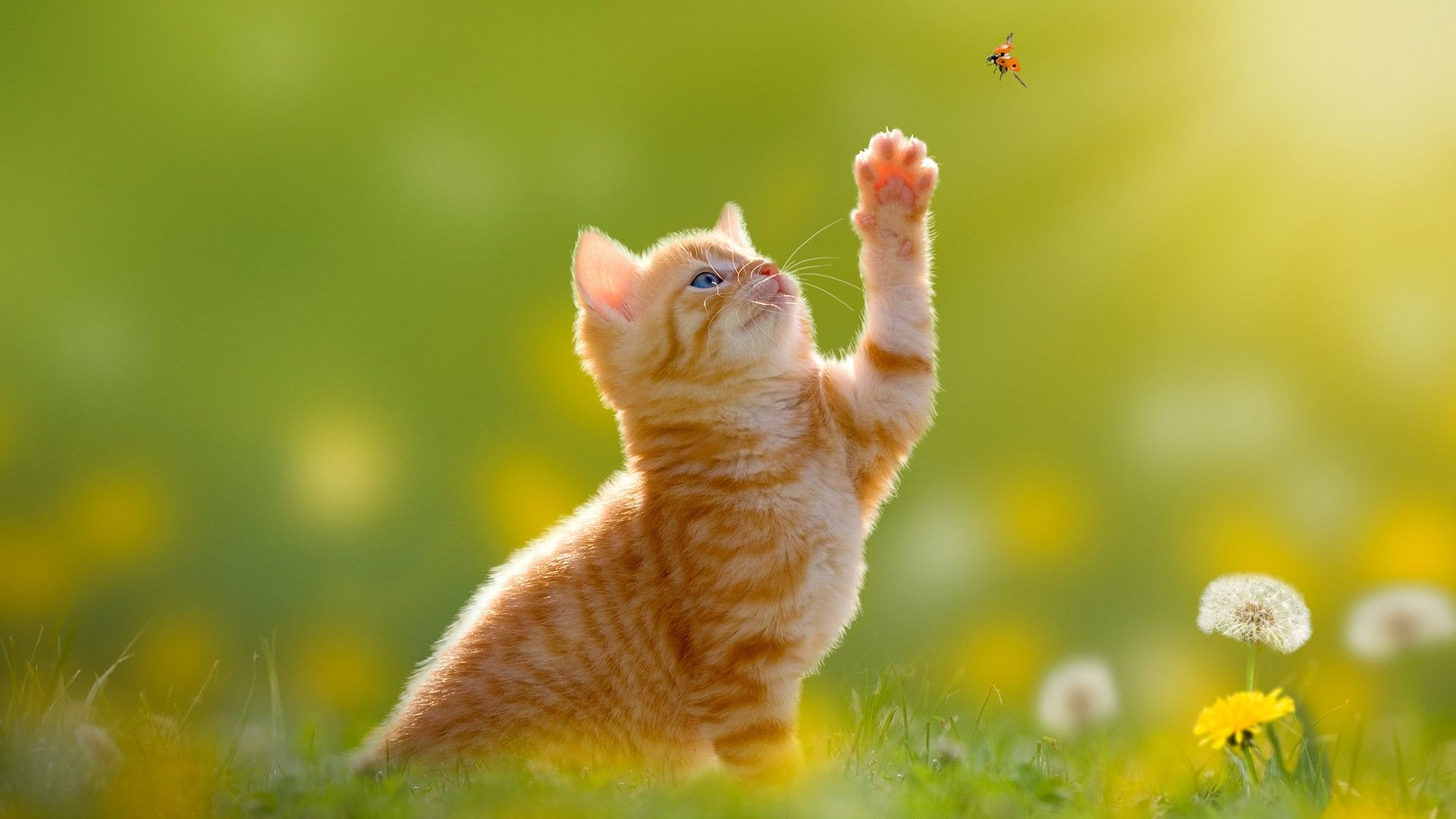 Kitten And A Ladybug Desktop Wallpaper 1920x1080 Baby Cats