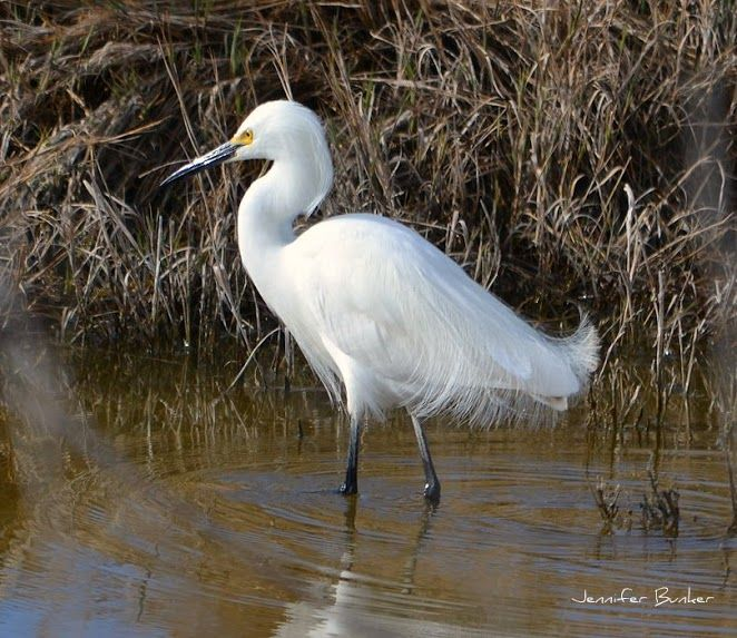 Snowy Egret. USFWS Bear River Migratory Bird Refuge, Utah. Photo: Jennifer Bunker