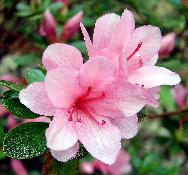 Azalea Blossom Azalea Flower Pink Azaleas Types Of Flowers