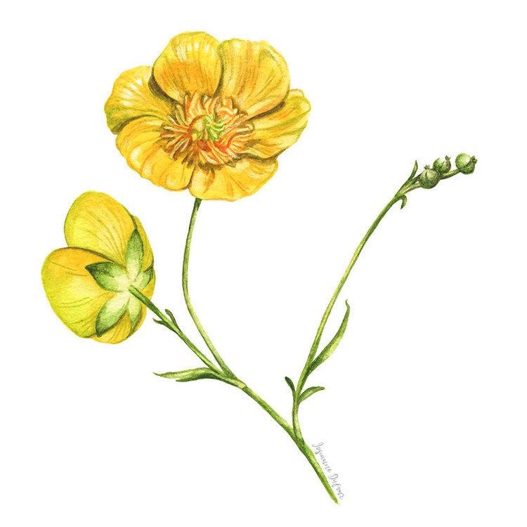 Josianne Dufour watercolor illustrator | illustrations à l