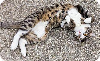 Staten Island, NY - Domestic Mediumhair. Meet Kibbles and Bitts, a cat for adoption. http://www.adoptapet.com/pet/11788970-staten-island-new-york-cat