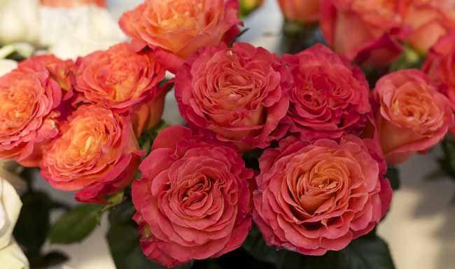 garden roses. sunset garden roses by alexandra farms