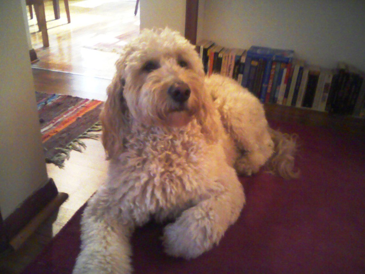 Scullys Winter Coat Goldendoodle Goldendoodle