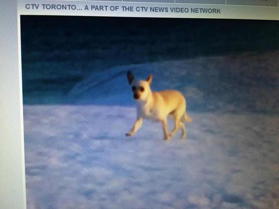 Lost Dog Chihuahua Cobourg On Canada K9a 1l3 Lost And