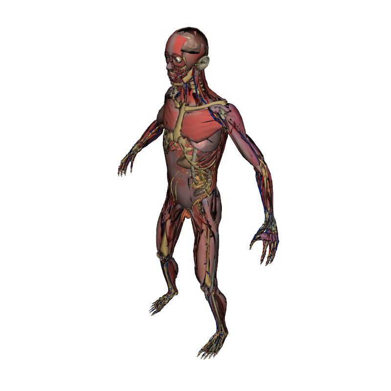 Full Male Anatomy without skin | Human Body | Anatomy | 3D model ...
