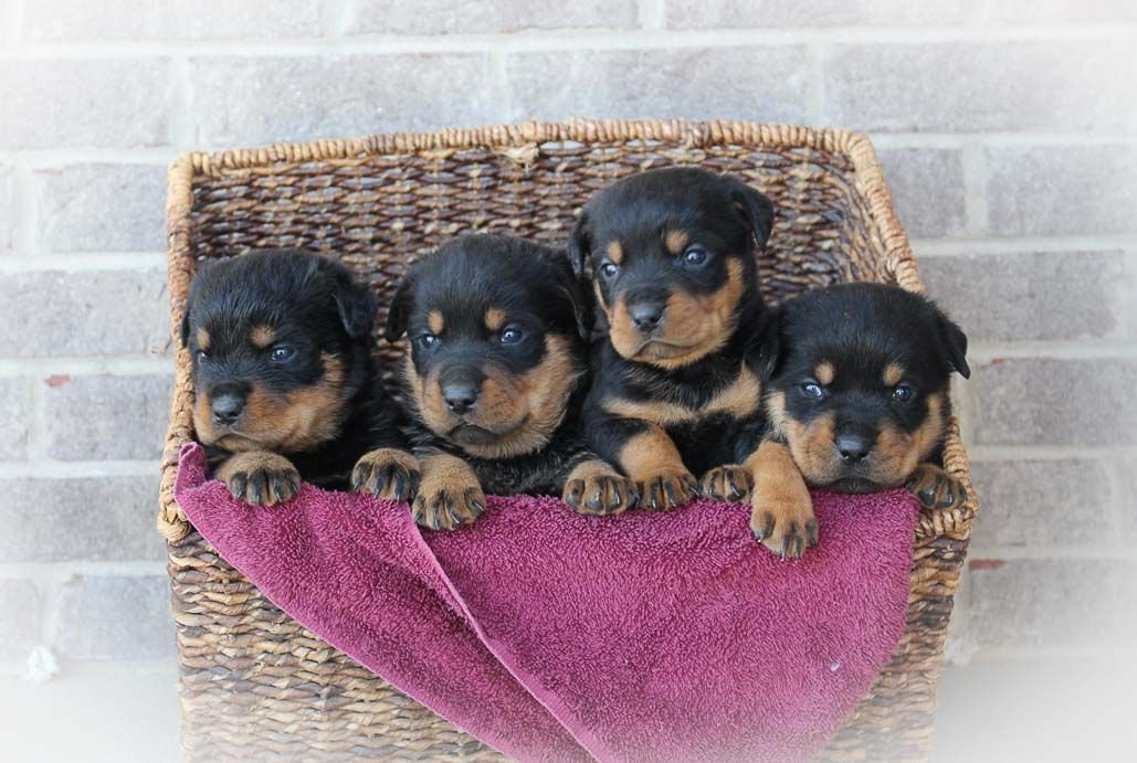 Max and Macy AKC Rottweiler puppies for sale in Indiana
