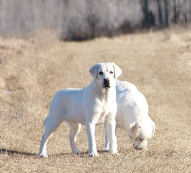 White Labs Lab Dogs Lab Puppies Labrador