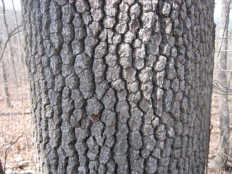 Dogwood Tree Bark Tree Bark Dogwood Trees Dogwood