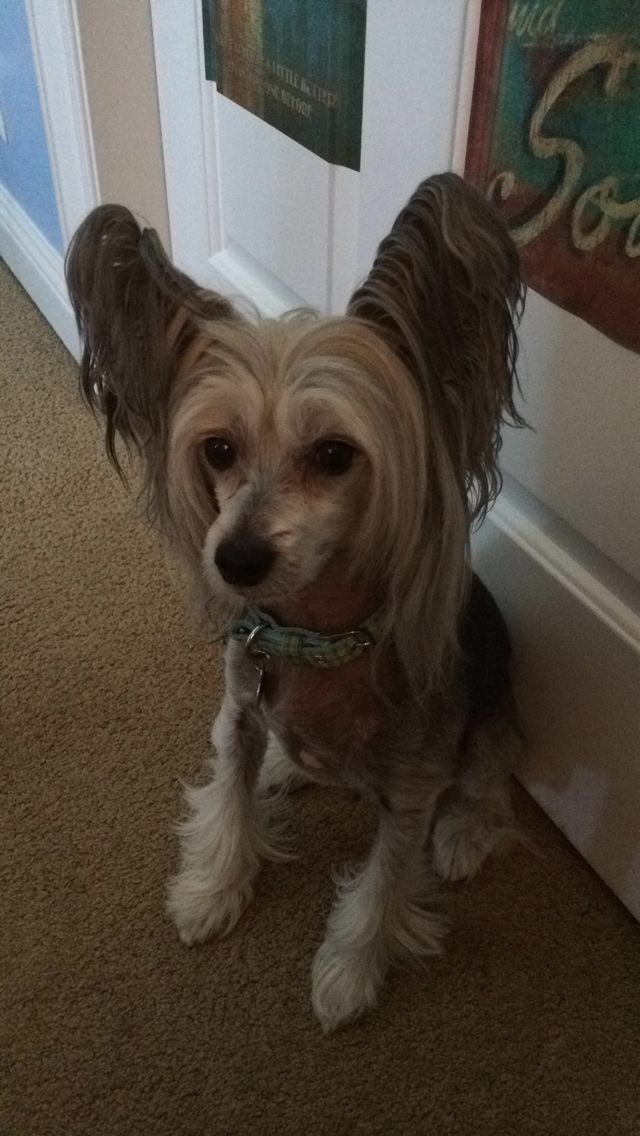 Martin Its All About The Chinese Crested Hl Pp Pinterest