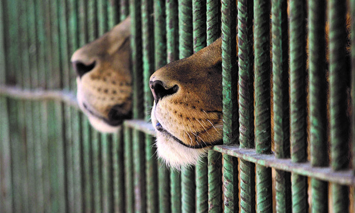 South Africa Intends To Export 800 Lion Skeletons Sourced From Canned Hunting Industry
