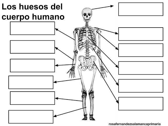 Maestra de Primaria: Los huesos y los músculos del cuerpo