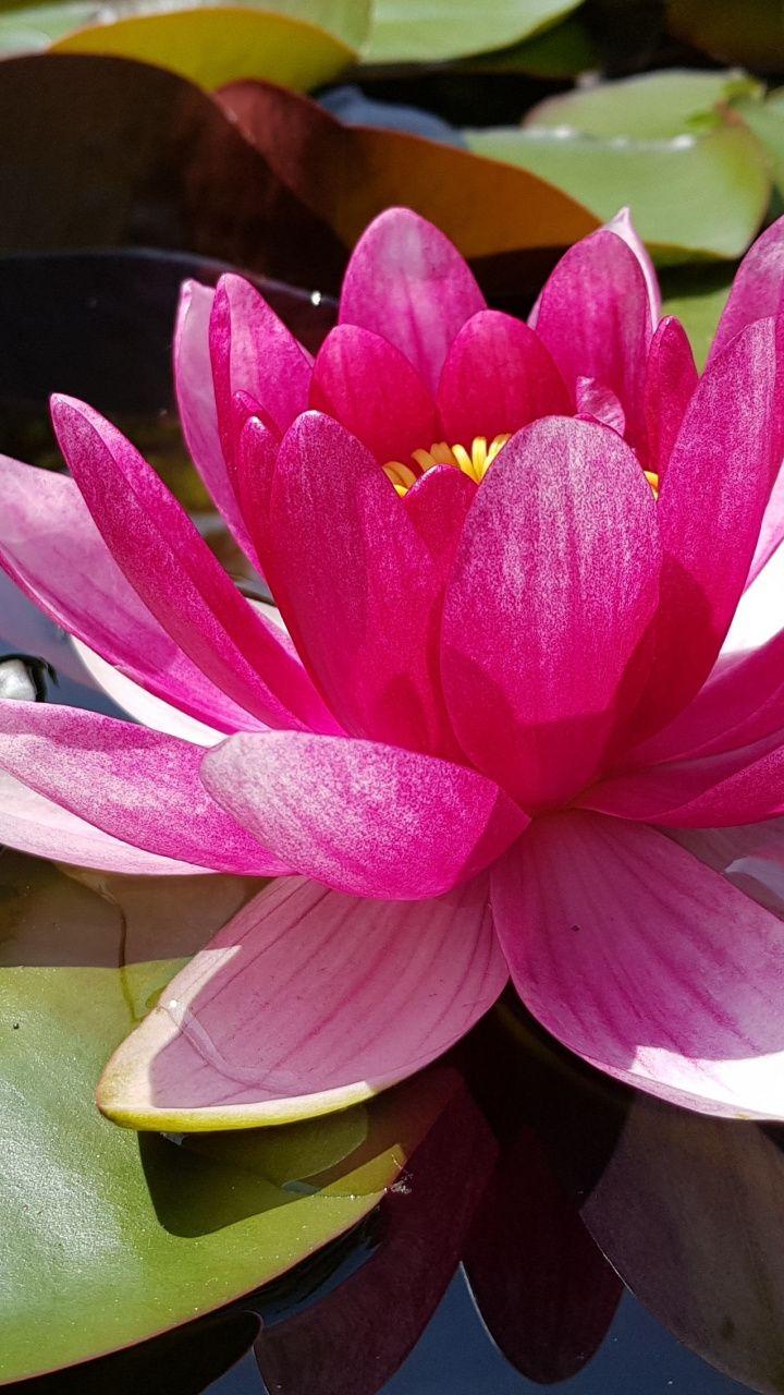720x1280 wallpaper Pink lotus, leaves, pond, bloom, flower