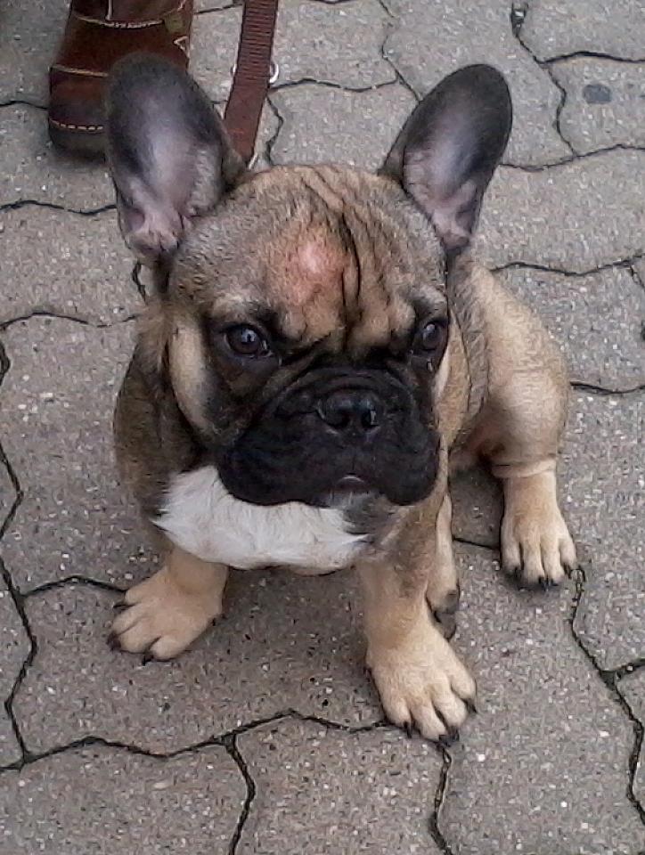 Jean-Luc, Französische Bulldogge #Hund #dog #widPet